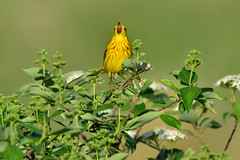 YellowWarblerSinging2 (Rich Mayer Photography) Tags: yellow warbler warblers bird birds animal animals wild life wildlife avian nature bushes perch perches fly flying flight nikon