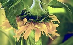 Sundown (Scott M. Mohn) Tags: flower plant commonsunflower green yellow nature petals stem hairy summer minnesota statefair display plot ornamental leaves florets colorful annualforb sonyilca77m2 inflorescence helianthusannuus closeup pseudanthium flowerhead heliotropism seeds oil droop