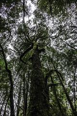 Green tree, Creepy Crawley Nature Trail,  Southwest National Park-3 (Tasmanian.Kris) Tags: tasmania southwestnationalpark hiking hike hikes bush bushwalk bushwalking