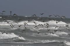 Sanderlings (j shew) Tags: nj islandbeachstatepark sanderlings jersey shore