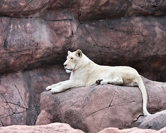 White Lion (Rackelh) Tags: lion bigcat cat animal mammal zoo nature toronto canada ontario