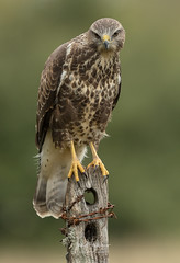 Common Buzzard (Ian howells wildlife photography) Tags: ianhowells ianhowellswildlifephotography nature naturephotography nationalgeographic canon canonuk wildlife wildlifephotography wales wild wildbird birdofprey buzzard bbcspringwatch