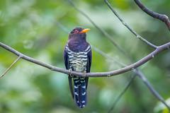 Violet Cuckoo (BP Chua) Tags: singapore nature wild wildlife animal bird cuckoo violet nikon d850 600mm garden jurong avian purple