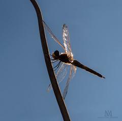 acrobat (marianna_armata) Tags: acrobat dragonfly insect shiny reflective translucent wings gossamer blue sky lookingup macro mariannaarmata