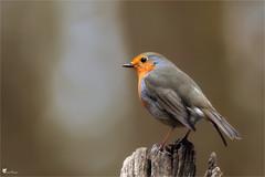 Rouge gorge (Pascal Photo Passion) Tags: couleur rouge verdure nature bois