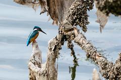 Fish?! (michel1276) Tags: kingfisher eisvogel vogel bird nature wildlife water see lake