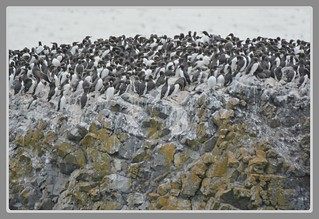 [/] Common Murres Colony - I. [\]