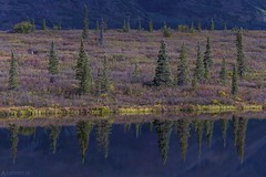 Riverside - Alaska (Captures.ch) Tags: clear klar tag morning day morgen fall foliage herbst alaska denalistatepark water wasser tree see landschaft landscape lake baum gras aufnahme capture