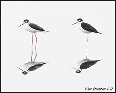 One Leg Or Two (pandatub) Tags: ebparks ebparksok bird birds stilt blackneckedstilt hrs haywardregionalshoreline