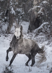 Brumby 66 small (iSPY Photography) Tags: brumbies wild horses australia nsw mountains snowymountains stallion mare filly colt ice gumtrees magestic kosciuskonationalpark