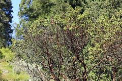 Tilden Botanical Garden, Berkeley, Calif._11 (Walt Barnes) Tags: ebpaksok park nature botanicalgarden tilden tildenpark garden berkeley ca calif tree shrubs leaves bushes scenery forest woods plant landscape scene canon eos 60d eos60d canoneos60d wdbones99 manzanita