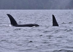 The boys (sjr627) Tags: transient killer whales orcas biggs t18s southern gulf islands
