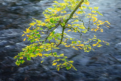 River Brathay Citrus (colinbell.photography) Tags: