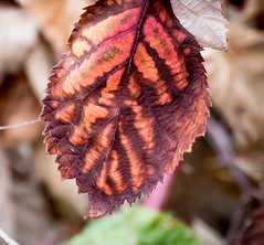 Natural Decay. (Omygodtom) Tags: decay red leaves outside macro bokeh dof flora smugmug flickriver colorful