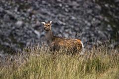 Doe Deer (Wild Atlantic Photos) Tags: deer ireland fallow doe glendalough wicklow