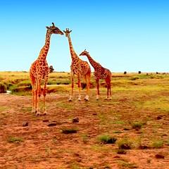Kenya, Masai Mara National Reserve. Jiraffe (dimaruss34) Tags: newyork brooklyn dmitriyfomenko image sky kenya svetlanafomenko animal masaimaranationalreserve grass