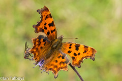 Comma butterfly 1 (Ian R T) Tags: commabutterfly comma butterfly castlefraser aberdeenshire scotland uk