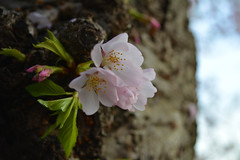 2015 Cherry Blossoms (Andrew Candella) Tags: cherry blossom blossoms washingtondc washington dc flowers photography photo