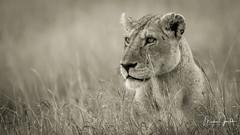 A Lion at the wonderful Masai Mara! (Markus Jaschke) Tags: afrika kenia mara masai