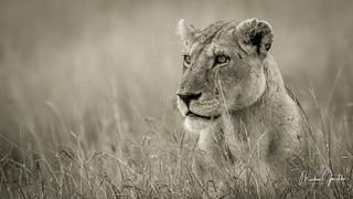 A Lion at the wonderful Masai Mara!