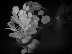 ...Just a Flower... (Ageeth van Geest) Tags: 7dwf flower bw blackandwhite monochrome hydrangea hortensia nature