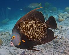 French angelfish, Bonaire (Hawkfish) Tags: bonaire dutchcaribbean netherlandsantilles caribbean snorkeling underwater marinelife kleinbonaire frenchangelfish angelfish