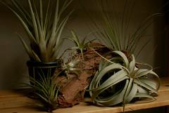 (AaronAndrewTaylor) Tags: plant plants houseplant houseplants air wood driftwood display collection tillandsia evergreen