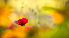 Coquelicot du jardin (Nicole Barge) Tags: proxi proxiphoto coquelicot pavot poppy poppies rouge red bokeh dof pdc jardin garden 2018 nicolebarge bleunature cornpoppy papaver papaverrhoeas