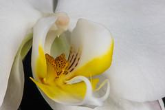 "Beauty (jeff's pixels) Tags: ""definebeauty"" macromondays beauty quote confucius orchid flower macro nature"