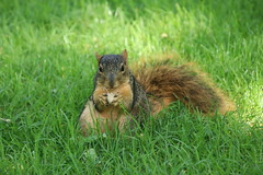 77/365/3729 (August 27, 2018) - Squirrels in Ann Arbor at the University of Michigan (August 27th, 2018) (cseeman) Tags: gobluesquirrels squirrels annarbor michigan animal campus universityofmichigan umsquirrels08272018 summer eating peanut augustumsquirrel 2018project365coreys yearelevenproject365coreys project365 p365cs082018 356project2018