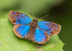 F62039-Brilliant Blue Skipper (Paches loxus) (DJHiker) Tags: colombia vlinder butterfly hesperiidae