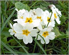 Wild Primrose ... (** Janets Photos **) Tags: uk wildflowers plants flora flowers nature primrose