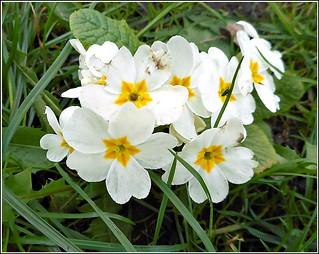 Wild Primrose ...