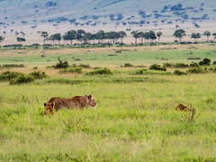 Golden late afternoon light. Quiet moment in the lion's family half hidden in the swamp-grass. (odileva) Tags: june kenia masaimaranp nature transmara riftvalleyprovince kenya ke