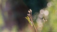 Mante religieuse-Mantis religiosa (PatNik01) Tags: nikon mantisreligiosa mantereligieuse insecte france bugey vert trioplan