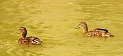 Two ducks (Pwern2) Tags: twoducks duck waterfowl water ripple ass assiniboineriver assiniboine feathers brown white waterflow flow winnipeg peg thepeg manitoba urbanwildlife