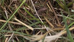 a lizard (Tomek Mrugalski) Tags: animal wild forest bory poland lizard grass hiding