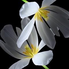 Tulips (Pixel Fusion) Tags: nature nikon flora flower aperture macro d600 photoshop tulip