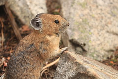 American Pika (Zach Hawn) Tags: wildlife mountrainier mtrainier nationalpark nps nationalparkservice wilderness outdoors animals hiking pacificnorthwest pnw wander nature naturalist citizenscience research communityscience peakingforpikas trail westernwashington washington wa piercecounty wildlifephotography flora fauna washingtonwildlife westernus