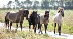 konick horses at oostvaardersplassen