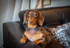 My World (cuppyuppycake) Tags: dachshund weenie dog animal pet mymaisie smooth haired miniature puppy cute adorable maisie portrait