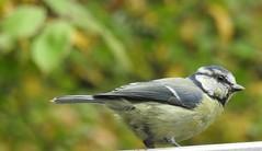 blue tit Cyanistes caeruleus paridae (BSCG (Badenoch and Strathspey Conservation Group)) Tags: fdon september tree prunus paridae bird bt