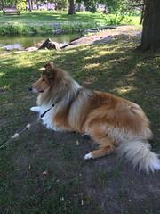 A Dog Named Finn (Phototrain Photography) Tags: finn stewartpark perth roughcollie bestfriend happy faithrichard jebb mike peaceloveandhappiness