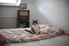 (moggierocket) Tags: cat love kedi neko katze chat bed thecatwhoturnedonandoff littledoglaughedstories