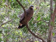 Crested Serpent Eagle (D-Stanley) Tags: eagles wilpattunationalpark srilanka