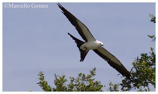 Swallow-tailed Kite (Elanoides forficatus) STKI - Mighty Graceful Flier