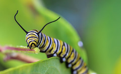 Determination (dianne_stankiewicz) Tags: leaf plant eating caterpillar monarch nature wildlife macro striped determination