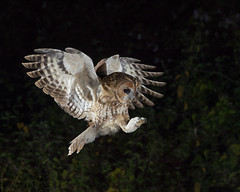 Tawny Owl (peterspencer49) Tags: peterspencer peterspencer49 owl tawnyowl raptor bird birdofprey nightphotography uk