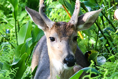 Wild Young Buck (_Lionel_08) Tags: deer young buck animal wild wildlife swamp louisiana green brown canon rebel t5 plants 75300 mm antlers close closeup