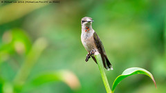 Ruby Throated Hummingbird (20180914-DSC07704) (Michael.Lee.Pics.NYC) Tags: newyork nybg newyorkbotanicalgarden rubythroatedhummingbird hummingbird bird juvenile male perch bokeh sony a6500 fe100400mmgm